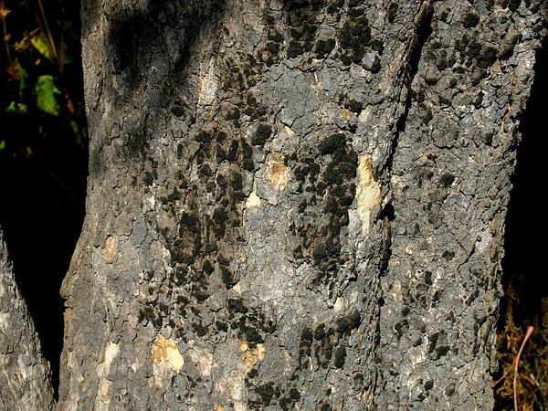 Strychnos (Strychnos) http://www.sagebud.com/strychnos-strychnos/