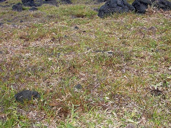 St. Augustine Grass (Stenotaphrum Secundatum) http://www.sagebud.com/st-augustine-grass-stenotaphrum-secundatum/