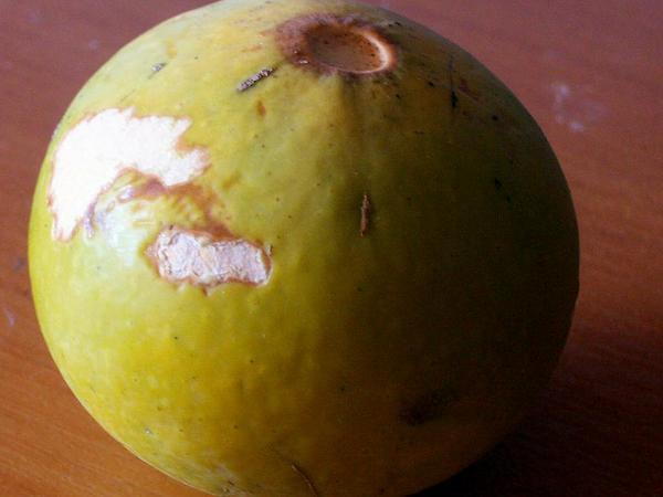 Natal Orange (Strychnos Spinosa) http://www.sagebud.com/natal-orange-strychnos-spinosa