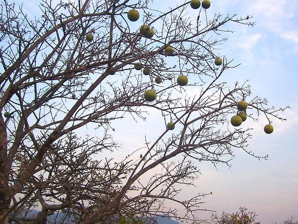 Natal Orange (Strychnos Spinosa) http://www.sagebud.com/natal-orange-strychnos-spinosa