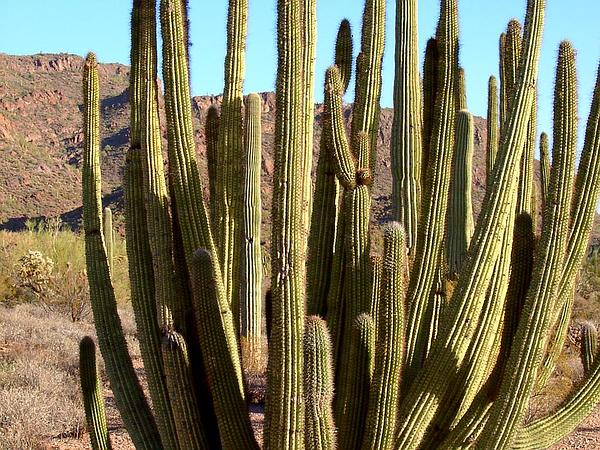 Organpipe Cactus (Stenocereus Thurberi) http://www.sagebud.com/organpipe-cactus-stenocereus-thurberi/