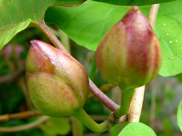 Spottedheart (Stictocardia Tiliifolia) http://www.sagebud.com/spottedheart-stictocardia-tiliifolia