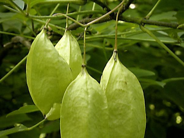 American Bladdernut (Staphylea Trifolia) http://www.sagebud.com/american-bladdernut-staphylea-trifolia/