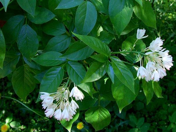 American Bladdernut (Staphylea Trifolia) http://www.sagebud.com/american-bladdernut-staphylea-trifolia