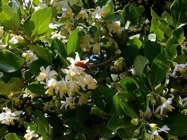 Snowbell (Styrax) http://www.sagebud.com/snowbell-styrax/