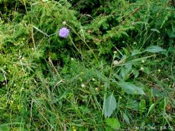 Succisa (Succisa) http://www.sagebud.com/succisa-succisa/