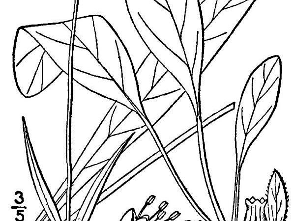 Southern Succisella (Succisella Inflexa) http://www.sagebud.com/southern-succisella-succisella-inflexa