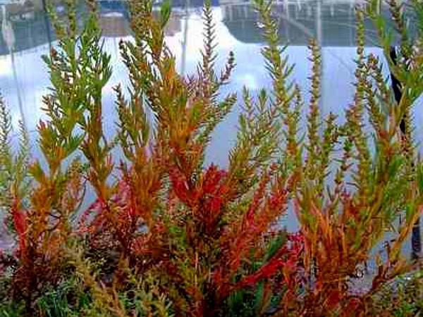 Herbaceous Seepweed (Suaeda Maritima) http://www.sagebud.com/herbaceous-seepweed-suaeda-maritima