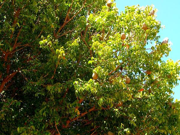 Mahogany (Swietenia) http://www.sagebud.com/mahogany-swietenia