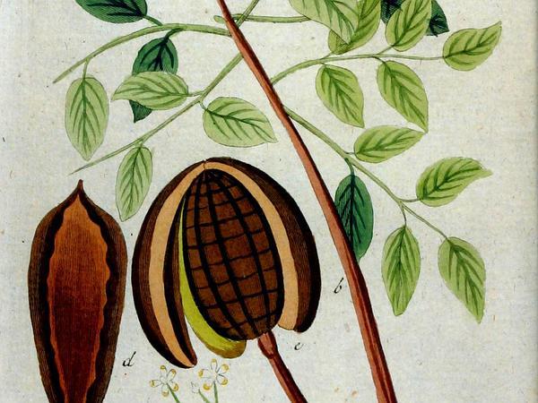 Mahogany (Swietenia) http://www.sagebud.com/mahogany-swietenia/