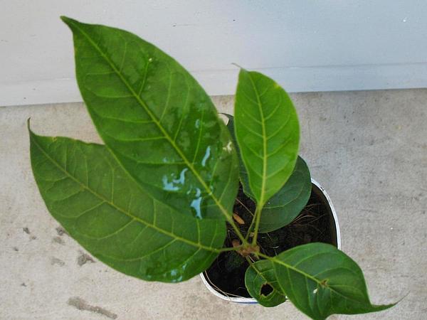 Honduras Mahogany (Swietenia Macrophylla) http://www.sagebud.com/honduras-mahogany-swietenia-macrophylla/