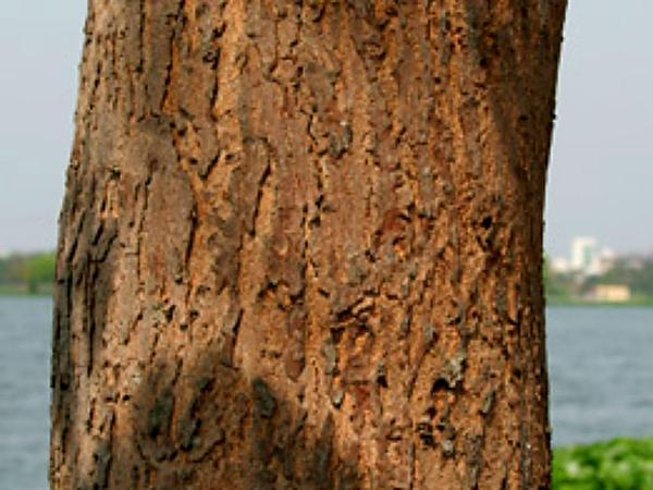 West Indian Mahogany (Swietenia Mahagoni) http://www.sagebud.com/west-indian-mahogany-swietenia-mahagoni