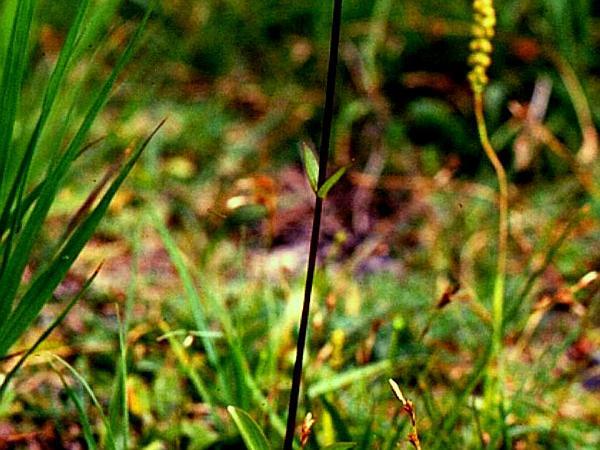 Felwort (Swertia Perennis) http://www.sagebud.com/felwort-swertia-perennis