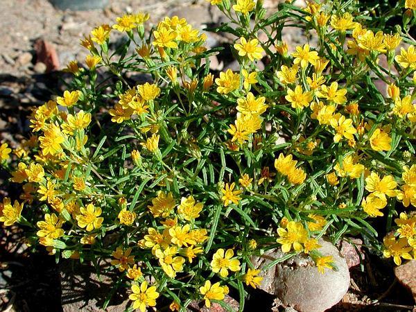 Pricklyleaf Dogweed (Thymophylla Acerosa) http://www.sagebud.com/pricklyleaf-dogweed-thymophylla-acerosa