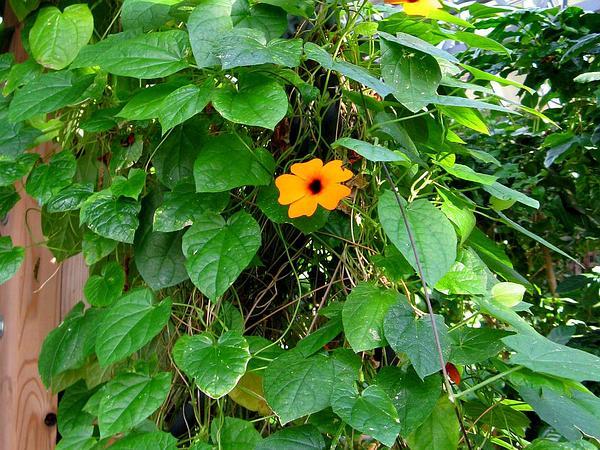 Blackeyed Susan Vine (Thunbergia Alata) http://www.sagebud.com/blackeyed-susan-vine-thunbergia-alata/