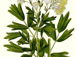 THALI2/173_Thalictrum_flavum_300.jpg