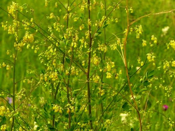 Meadow-Rue (Thalictrum) http://www.sagebud.com/meadow-rue-thalictrum