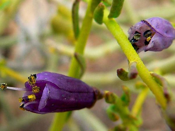 Desertrue (Thamnosma) http://www.sagebud.com/desertrue-thamnosma