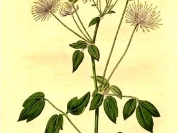 Columbine Meadow-Rue (Thalictrum Aquilegifolium) http://www.sagebud.com/columbine-meadow-rue-thalictrum-aquilegifolium