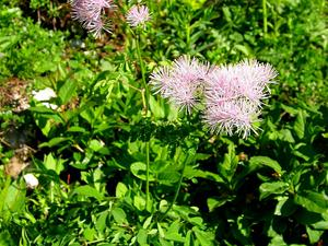 THAQ/Thalictrum_aquilegifolium_300.jpg