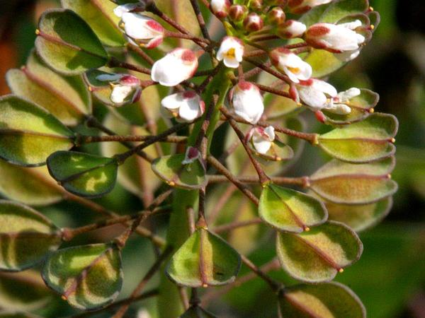 Field Pennycress (Thlaspi Arvense) http://www.sagebud.com/field-pennycress-thlaspi-arvense