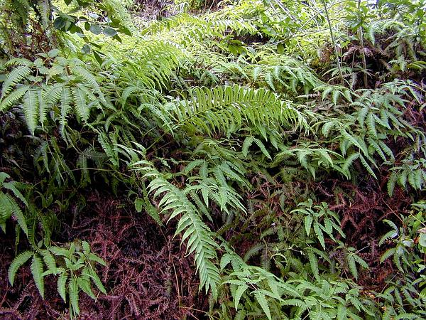 Lacy Maiden Fern (Thelypteris Cyatheoides) http://www.sagebud.com/lacy-maiden-fern-thelypteris-cyatheoides/