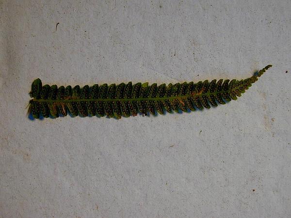 Downy Maiden Fern (Thelypteris Dentata) http://www.sagebud.com/downy-maiden-fern-thelypteris-dentata
