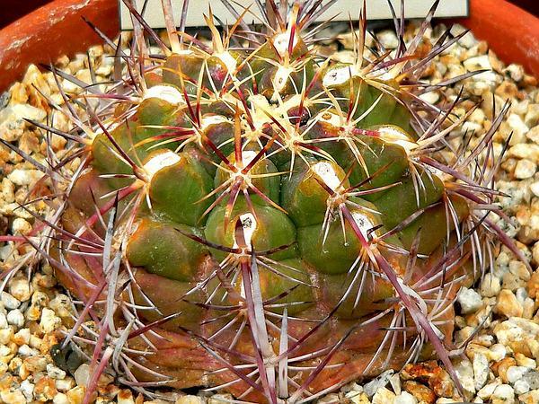 Thelocactus (Thelocactus) http://www.sagebud.com/thelocactus-thelocactus