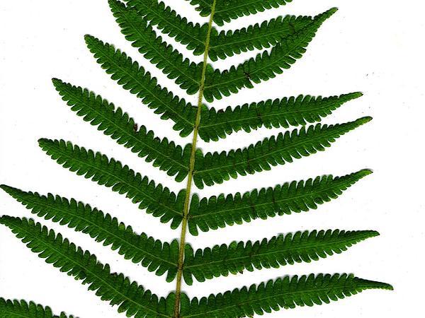 Maiden Fern (Thelypteris) http://www.sagebud.com/maiden-fern-thelypteris/