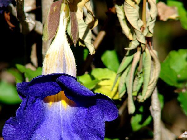Bush Clockvine (Thunbergia Erecta) http://www.sagebud.com/bush-clockvine-thunbergia-erecta/