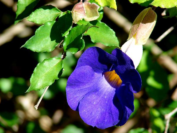 Bush Clockvine (Thunbergia Erecta) http://www.sagebud.com/bush-clockvine-thunbergia-erecta