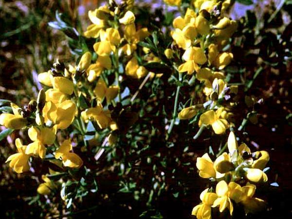 Goldenbanner (Thermopsis) http://www.sagebud.com/goldenbanner-thermopsis