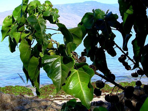 Thespesia (Thespesia) http://www.sagebud.com/thespesia-thespesia