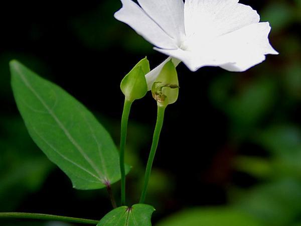 Whitelady (Thunbergia Fragrans) http://www.sagebud.com/whitelady-thunbergia-fragrans