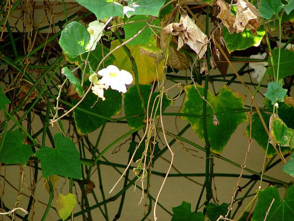 Bengal Trumpet (Thunbergia Grandiflora) http://www.sagebud.com/bengal-trumpet-thunbergia-grandiflora/
