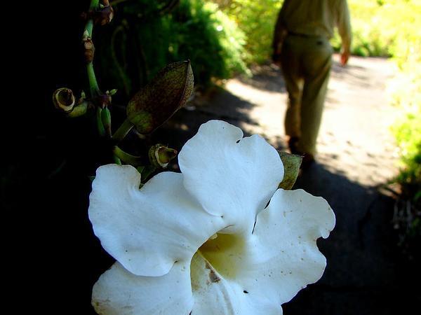 Bengal Trumpet (Thunbergia Grandiflora) http://www.sagebud.com/bengal-trumpet-thunbergia-grandiflora