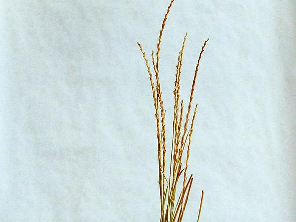 Intermediate Wheatgrass (Thinopyrum Intermedium) http://www.sagebud.com/intermediate-wheatgrass-thinopyrum-intermedium