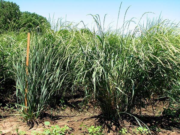 Wheatgrass (Thinopyrum) http://www.sagebud.com/wheatgrass-thinopyrum/