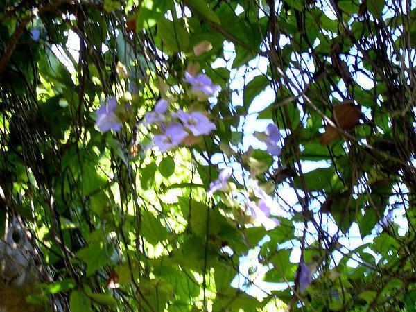 Laurel Clockvine (Thunbergia Laurifolia) http://www.sagebud.com/laurel-clockvine-thunbergia-laurifolia/
