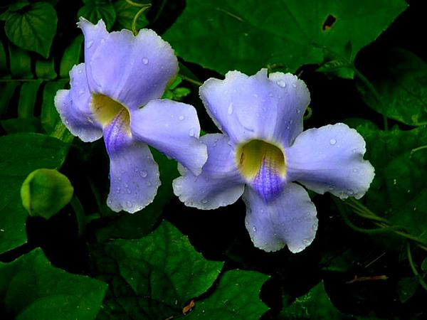 Laurel Clockvine (Thunbergia Laurifolia) http://www.sagebud.com/laurel-clockvine-thunbergia-laurifolia