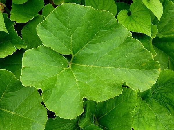 Thladiantha (Thladiantha) http://www.sagebud.com/thladiantha-thladiantha/