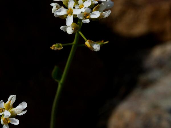 Pennycress (Thlaspi) http://www.sagebud.com/pennycress-thlaspi