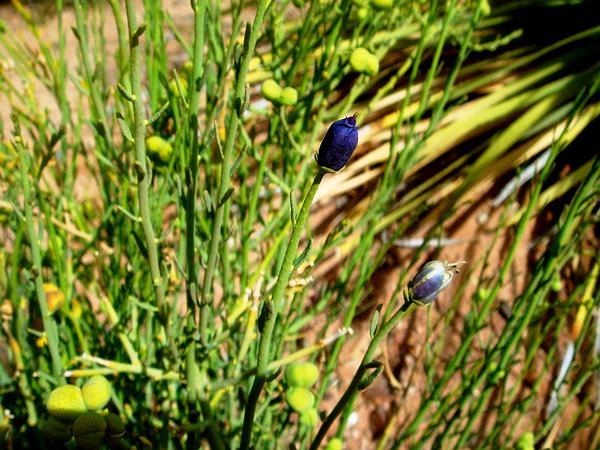 Turpentinebroom (Thamnosma Montana) http://www.sagebud.com/turpentinebroom-thamnosma-montana/