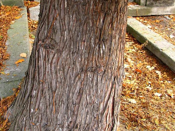 Arborvitae (Thuja Occidentalis) http://www.sagebud.com/arborvitae-thuja-occidentalis/