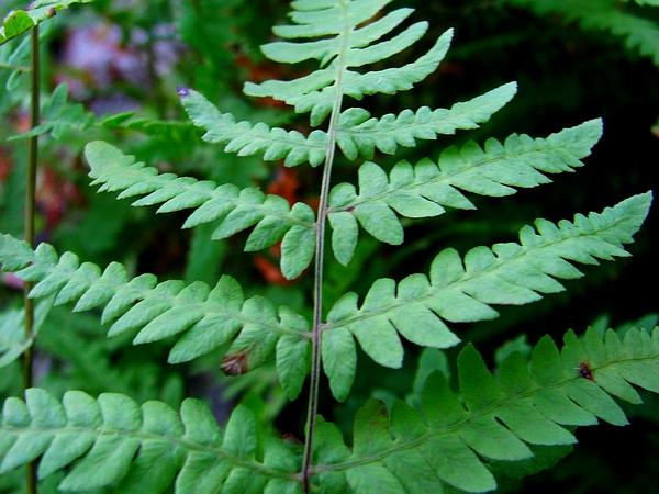 Eastern Marsh Fern (Thelypteris Palustris) http://www.sagebud.com/eastern-marsh-fern-thelypteris-palustris/