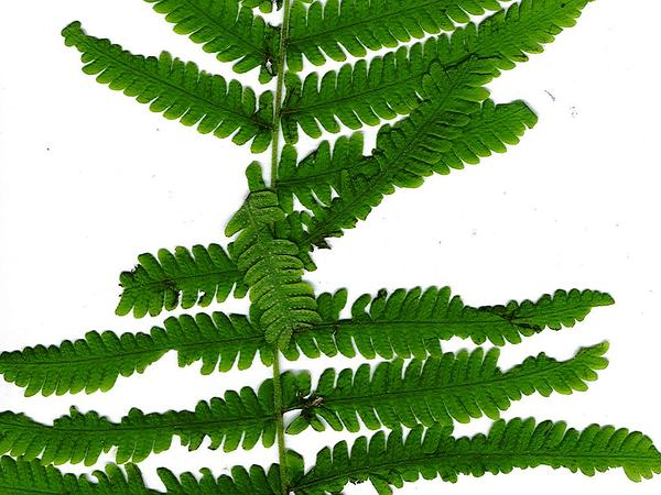 Parasitic Maiden Fern (Thelypteris Parasitica) http://www.sagebud.com/parasitic-maiden-fern-thelypteris-parasitica/