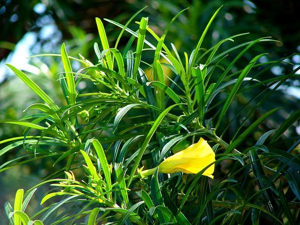Luckynut (Thevetia Peruviana) http://www.sagebud.com/luckynut-thevetia-peruviana