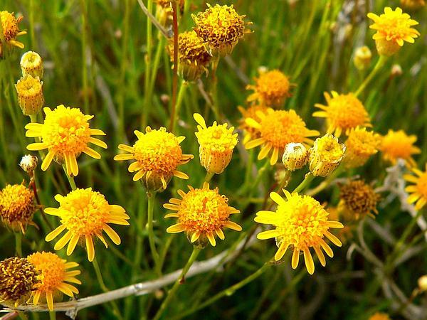 Fiveneedle Pricklyleaf (Thymophylla Pentachaeta) http://www.sagebud.com/fiveneedle-pricklyleaf-thymophylla-pentachaeta