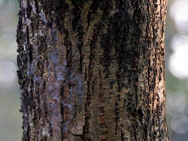 Portia Tree (Thespesia Populnea) http://www.sagebud.com/portia-tree-thespesia-populnea/