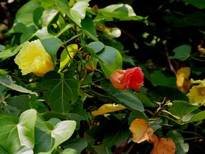 THPO3/Indian_Tulip_tree_(Thespesia_populnea)_flowers_W_IMG_6870_300.jpg